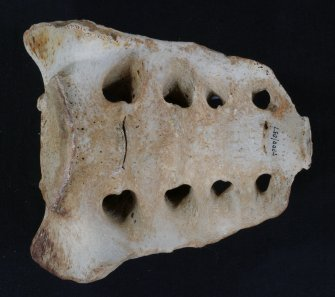 Sacrum from the human individual whose remains were recovered from the wreck. (Colin Martin)