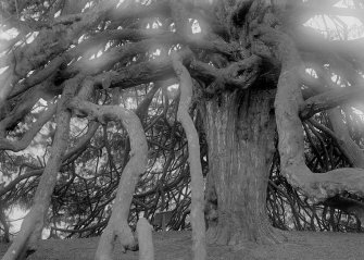 Detail of yew tree.