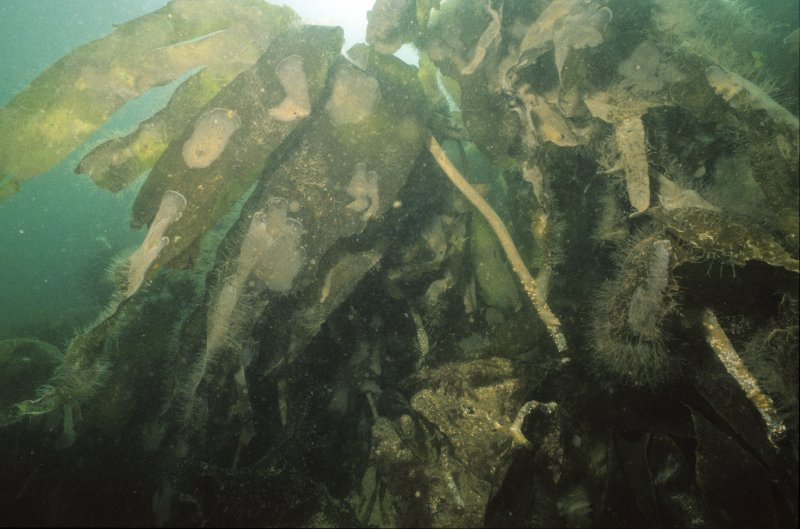 The Duart Point wreck-site is dominated by a luxuriant forest of seaweed or kelp. On the exposed rock-face, which descends from the shore to the shingle sea-bed 10m below, the cover is exclusively oar-weed (Laminaria digitata), seen in this photograph. This is a useful indicator high-energy zones. On the wreck itself the species is less common, being replaced by a large wavy-edged variety, sugar-kelp or Laminaria saccharina. This is a more sedate variety, indicative of moderate- to low-energy zones. It attaches itself to rocks or exposed areas of timber. It is unable to colonise mobile sediments. (Colin Martin)