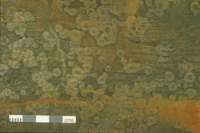 Example of pine panelling showing evidence of temporary colonisation by barnacles (Balanus crenatus) which were subsequently displaced, presumably by natural reburial. (Colin Martin)