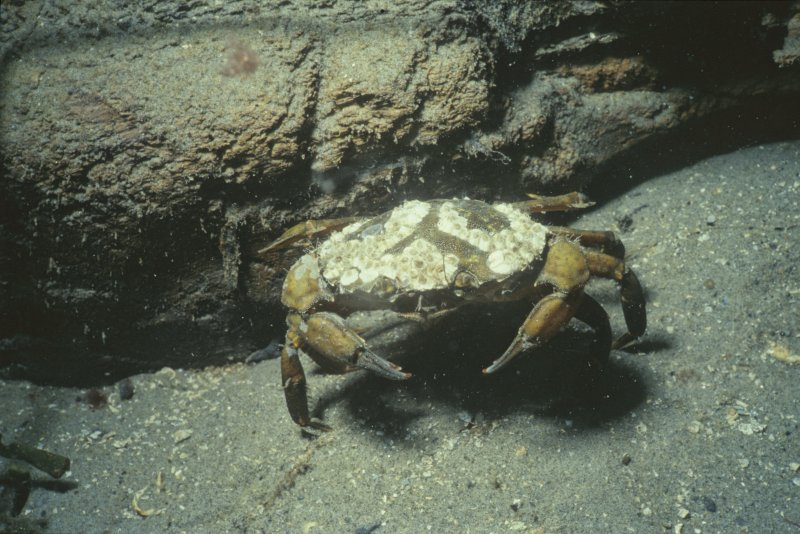 Another common species on the Duart Point wreck—the Carcinus maenas, or shore crab. (Colin Martin)