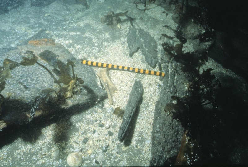 Animal bone in situ on the wreck-site. Scale in centimetres. (Archaeological Diving Unit)