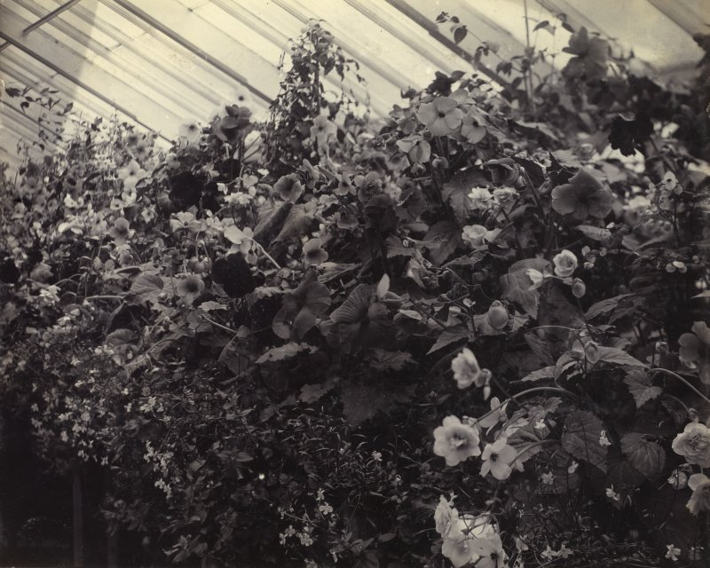View of begonias in greenhouse at St Fort House.