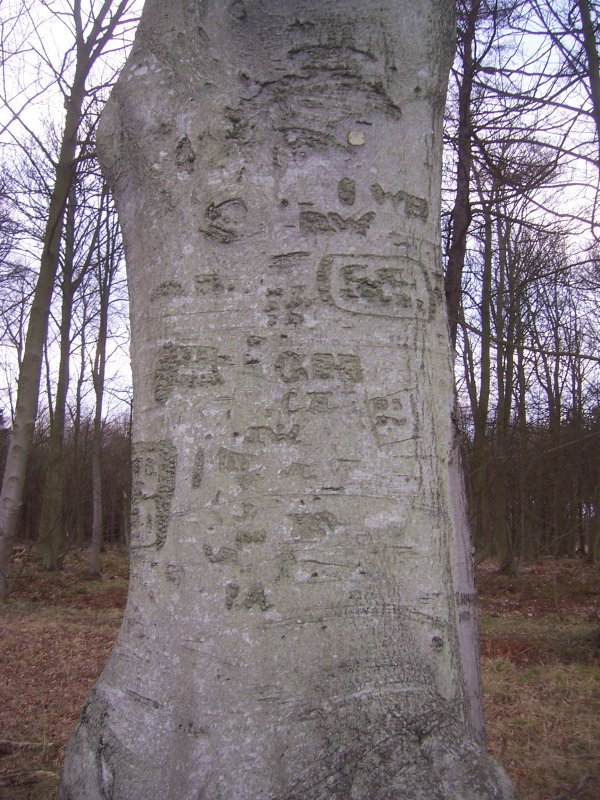 General view of tree and arborglyphs.