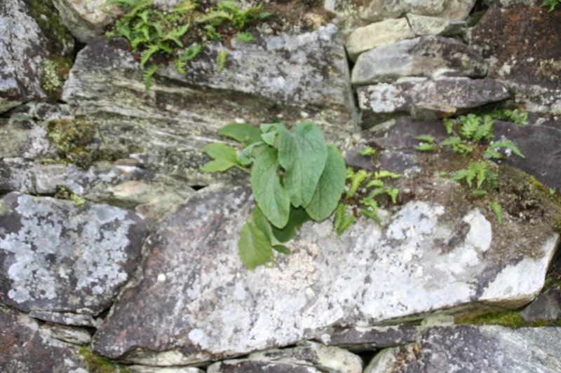 Plants growing on the broch at the time of survey