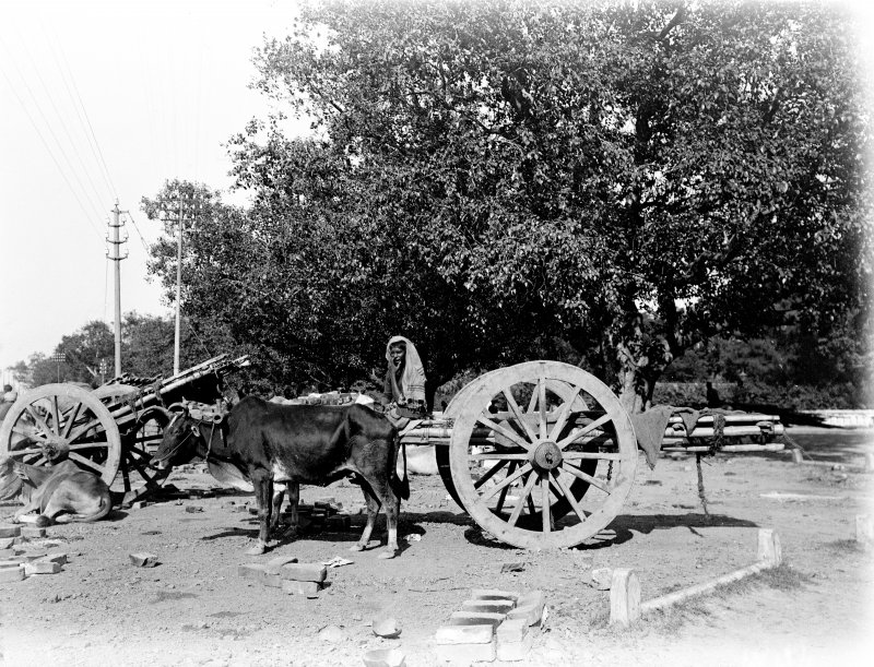 Bullock drawn cart with driver.  Unknown location.