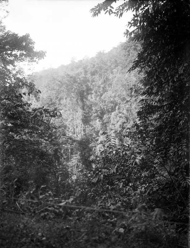Forest.  Unknown location, possibly in Darjeeling or north Bengal.