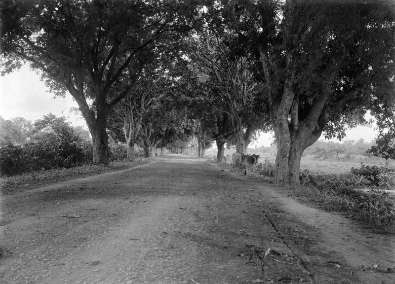 Tree lined road with cows. Unknown location.