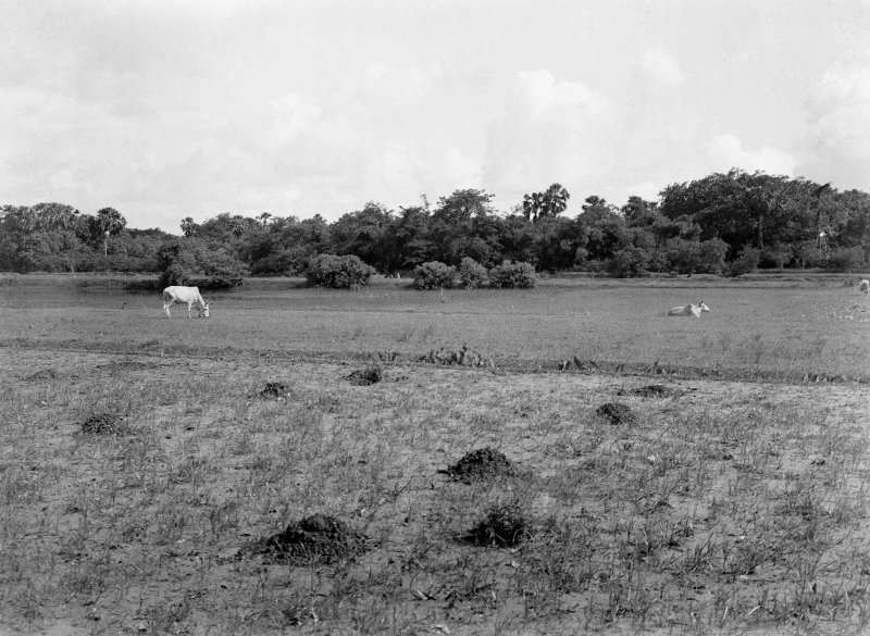 Cattle grazing in field. Unknown location.