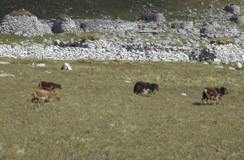 Soay sheep in front of the village.