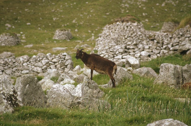 A Soay sheep in the village.